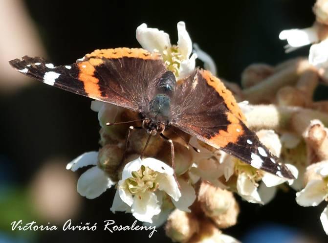 La papallona Vanessa